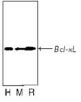 Bcl-xL monoclonal antibody (2H12) Western blot