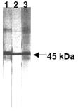 Fas monoclonal antibody (ZB4) Western blot