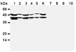 DFF45/ICAD monoclonal antibody (6B8) Western blot
