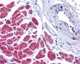 Caspase-12 polyclonal antibody Immunohistochemistry