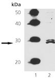 FADD polyclonal antibody Western blot