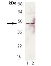 Fas polyclonal antibody Western blot