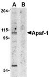 Apaf-1 polyclonal antibody Western blot