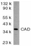 DFF40/CAD polyclonal antibody Western blot