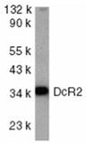 TRAIL-R4 polyclonal antibody Western blot