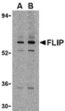 c-FLIP polyclonal antibody Western blot
