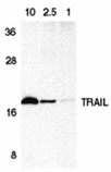 TRAIL (human) polyclonal antibody Western blot