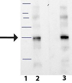 Kallikrein-8 monoclonal antibody (BE) Western blot