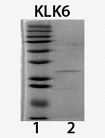 Kallikrein-6 (human), (recombinant) (His-tag) SDS-PAGE