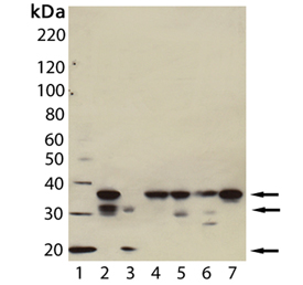 Caspase-7 monoclonal antibody (7-1-11) Western blot