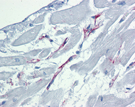 Caspase-9 monoclonal antibody (2-22) Immunohistochemistry