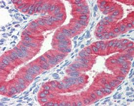 Cytochrome c monoclonal antibody (7H8.2C12) Immunohistochemistry