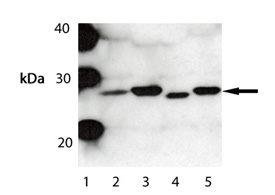 Bak polyclonal antibody Western blot