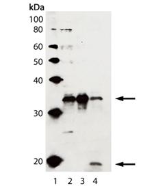 Caspase-3 polyclonal antibody Western blot