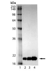 LC3-I (human), (recombinant) (His-tag) SDS-PAGE