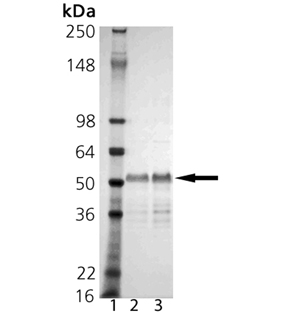BAG-1M (human), (recombinant) (His-tag) SDS-PAGE