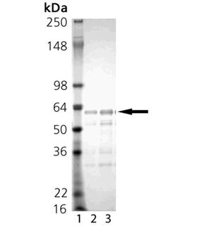 BAG-1S (human), (recombinant) (His-tag) (GST-tag) SDS-PAGE