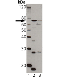 TAP1 polyclonal antibody Western blot