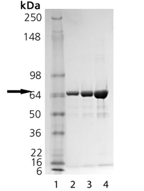 HSP70 (low endotoxin) (human), (recombinant) SDS-PAGE