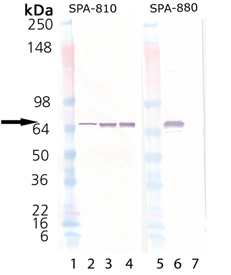 HSP70 (low endotoxin) (human), (recombinant) Western blot