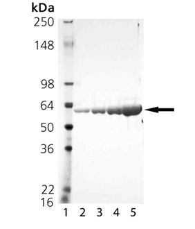 HSP60 (low endotoxin) (mouse), (recombinant) SDS-PAGE