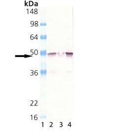 MEK1 polyclonal antibody Western blot