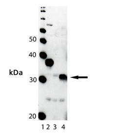 HO-1 polyclonal antibody Western blot