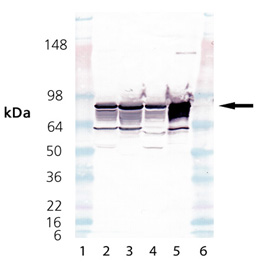 Cytochrome P450 Reductase polyclonal antibody Western blot