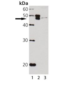p47Phox polyclonal antibody Western blot