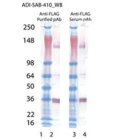 FLAG polyclonal antibody Western blot