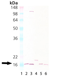 Cu/Zn SOD polyclonal antibody (biotin conjugate) Western blot