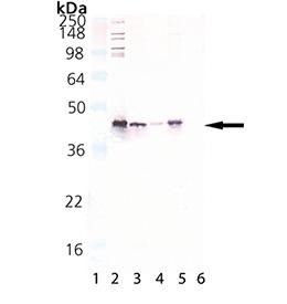 HSP40/Hdj1 polyclonal antibody Western blot
