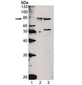 Grp78/BiP polyclonal antibody Western blot