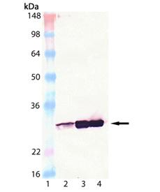 HSP27 monoclonal antibody (G3.1) Western blot