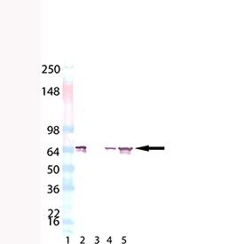 HSP70/HSP72 monoclonal antibody (C92F3A-5) (AP conjugate) Western blot
