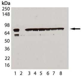HSC70/HSP73 monoclonal antibody (1B5) (biotin conjugate) Western blot