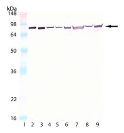 HSC70/HSP70 monoclonal antibody (N27F3-4) Western blot