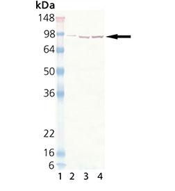 HSP90 monoclonal antibody (2D12) Western blot