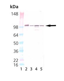 Grp94 monoclonal antibody (9G10) Western blot