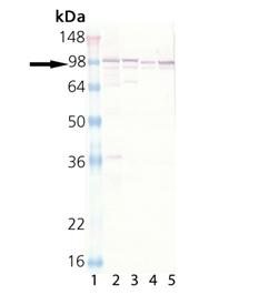 Calnexin polyclonal antibody Western blot