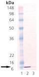 Cpn10 (human), (recombinant) Western blot