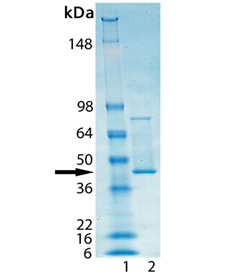 HSP47 (human), (recombinant) SDS-PAGE