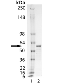 Calreticulin (human), (recombinant) (His-tag) SDS-PAGE