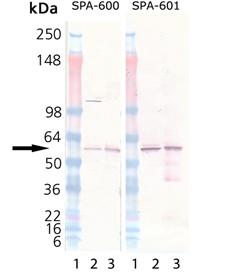 Calreticulin (human), (recombinant) (His-tag) Western blot