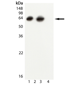 GroEL (E. coli) monoclonal antibody (9A1/2) Western blot