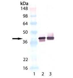 Synaptophysin monoclonal antibody (SP15) Western blot