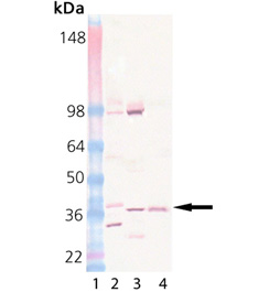 Syntaxin 13 monoclonal antibody (15G2) Western blot