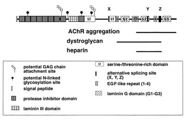 Agrin monoclonal antibody (Agr-247) Schematic structure of immunogen