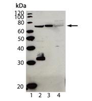 Cardif (human) polyclonal antibody (AT107) Western blot