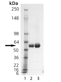 TRAIL-R2 (human):Fc (human), (recombinant) SDS-PAGE